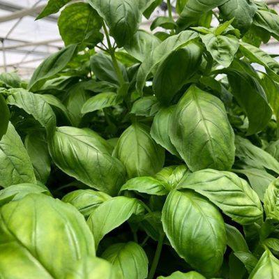 Fresh Produce - Hydroponic Basil