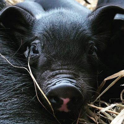 Little Pig Closeup