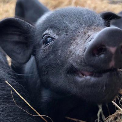 Little Pig Snout