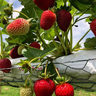 Strawberries on Vines
