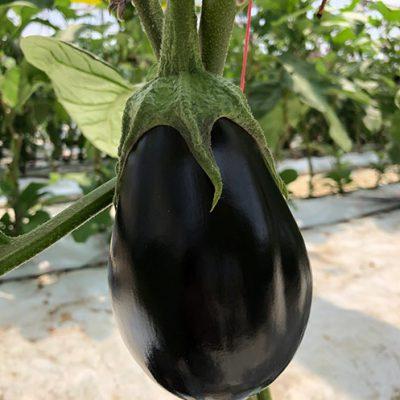 Hydroponic Eggplant