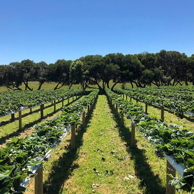 Strawberry Field Rows and Blue Sky